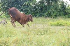 Krowy lying on the beach w trawy zieleni polach Zdjęcie Stock