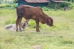 Krowy lying on the beach w trawy zieleni polach Zdjęcia Stock