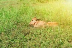 Krowy lying on the beach w trawy zieleni polach Fotografia Stock