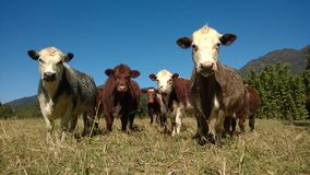 Krowy maffia iść opuszczać następnego album obraz stock