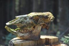 krowy mech czaszka Zdjęcie Royalty Free