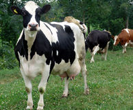 krowy mleka paśnik Obrazy Stock