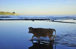 krowy morze Fotografia Stock