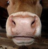 krowy mouth nos Zdjęcia Royalty Free