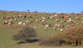 Krowy na łące Fotografia Stock