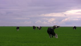 Krowy na łące zbiory wideo