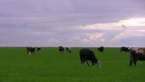 Krowy na łące Timelapse zbiory
