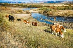 Krowy na żółtej trawie pod niebieskim niebem rzecznym brzeg Obrazy Royalty Free