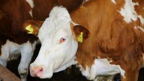 Krowy na bydlęcia uprawiać ziemię Krowy pasa na zielonej łące zbiory wideo