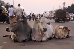 3 krowy na drodze Zdjęcia Royalty Free