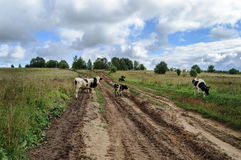 Krowy na drodze gruntowej Zdjęcie Stock