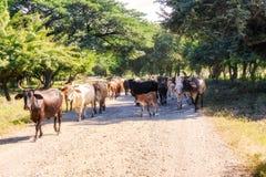 Krowy na drodze 39 w Nikaragua Obrazy Royalty Free
