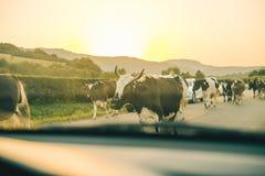 Krowy na drodze na zmierzchu Fotografia Royalty Free