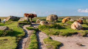 Krowy na górze Higger Tor, South Yorkshire, Anglia, UK obrazy royalty free