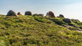 Krowy na górze Higger Tor, South Yorkshire, Anglia, UK zdjęcia stock
