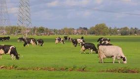 Krowy na gospodarstwie rolnym zbiory wideo