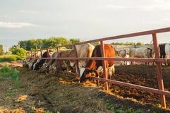 Krowy na Gospodarstwie rolnym Fotografia Stock