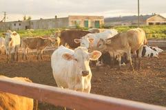 Krowy na Gospodarstwie rolnym Fotografia Royalty Free