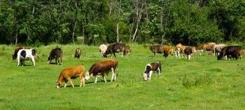 Krowy na halnym paśniku w Bułgaria Fotografia Stock