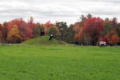 Krowy na jesieni wypasają, Monroe okręg administracyjny, Wisconsin, usa Zdjęcie Stock