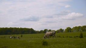 Krowy na lato paśniku 4K zbiory