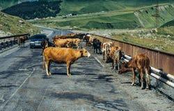 Krowy na moscie Fotografia Stock