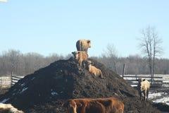 Krowy na nawozu kopu Obraz Stock