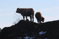 Krowy na nawozu kopu Obrazy Royalty Free