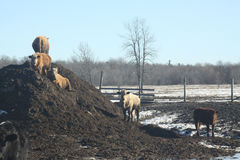 Krowy na nawozu kopu Zdjęcia Stock