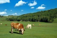 Krowy na obszar trawiasty Obraz Royalty Free