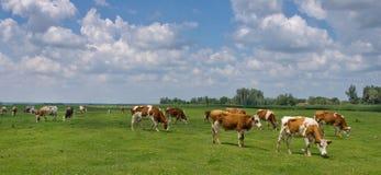 Krowy na paśniku zdjęcia royalty free