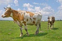 Krowy na paśniku zdjęcie royalty free
