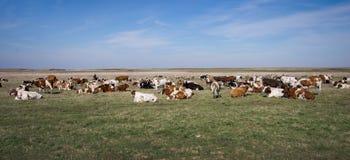 Krowy na paśniku Fotografia Stock