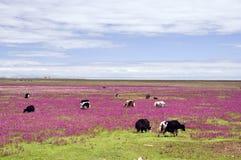 Krowy na pięknym obszar trawiasty Obraz Royalty Free