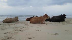 Krowy na plaży w Goa India zbiory