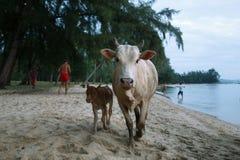 Krowy na plaży Obraz Royalty Free