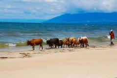 Krowy na pla?y obrazy royalty free