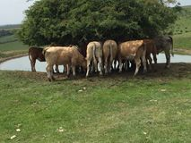 Krowy na południe Zestrzelają zdjęcia stock