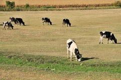 Krowy na polu zdjęcia stock