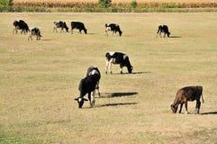 Krowy na polu Obrazy Stock