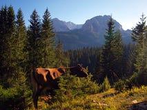 Krowy na skłonach Durmitor blisko Zabljak Obraz Royalty Free