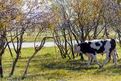 Krowy na trawie Zdjęcie Royalty Free
