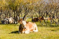 Krowy na trawie Obraz Stock