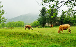 Krowy na trawie Obrazy Royalty Free