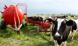 Krowy na wiosny łące Fotografia Stock