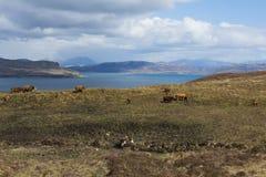 Krowy na wyspie Skye Zdjęcie Royalty Free