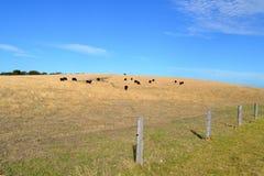 Krowy wzgórze Zdjęcie Royalty Free