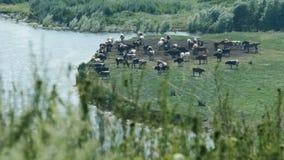 Krowy na Zielonej łące blisko rzeki krowy target4505_1_ paśnika Domowy bydło zbiory wideo