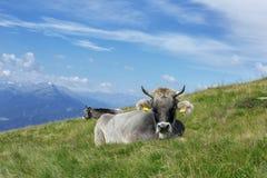 Krowy na zielonej trawie Zdjęcia Stock