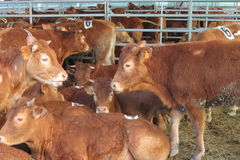 Krowy niewywrotne Zdjęcie Stock